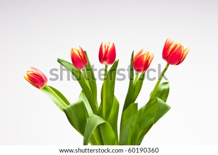 Red tulips in bloom isolated on white background. - stock photo