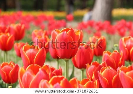 Red tulips in flower field - stock photo