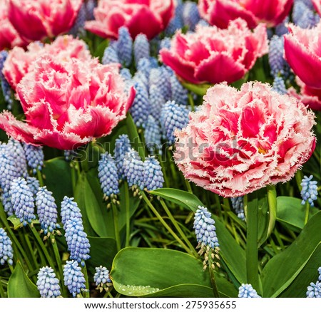 Red tulips in flower garden, Kukenhof, Holland - stock photo