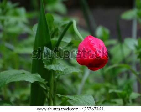 Red tulips in flowerbed spring bloom nature flowers flora floristics botany - stock photo