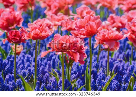 Red Tulips in front of Blue Flowers - stock photo