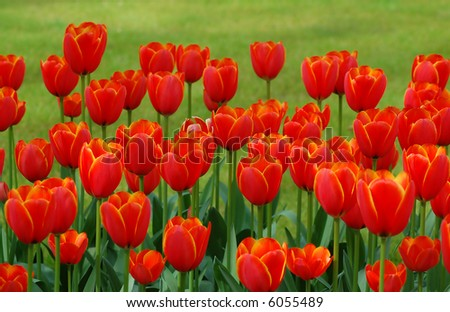 Red Tulips in front of grass - stock photo