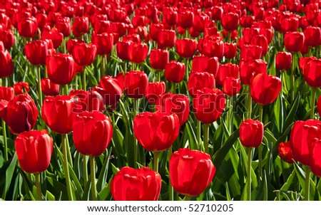 Red tulips in full bloom. - stock photo