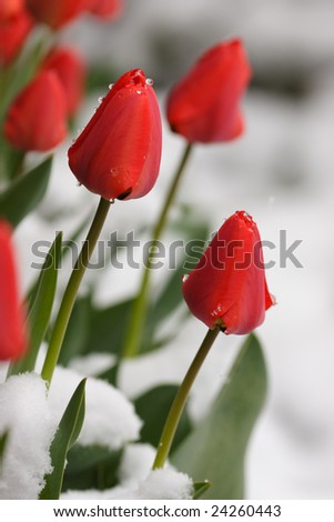 Red tulips in looking through the snow - stock photo