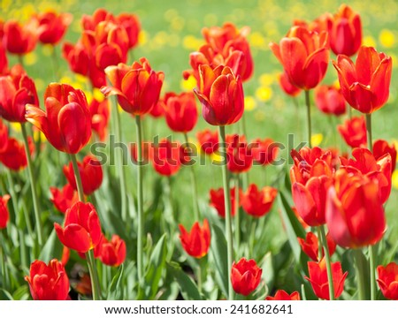 red tulips in sunny spring day