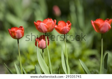 red tulips in the spring garden