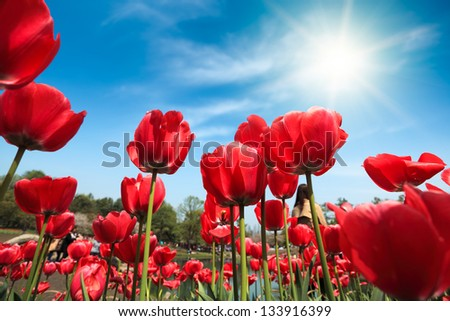 red tulips in the sunny spring