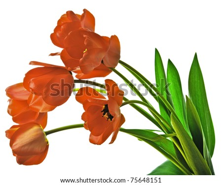 red tulips isolated - stock photo