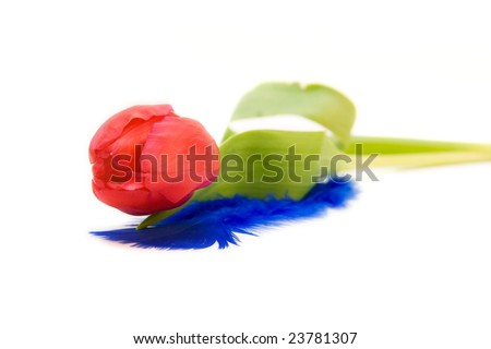 red tulips isolated on white. valentine's day