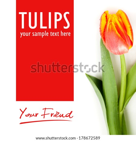 Red tulips no the black background - isolated text - stock photo