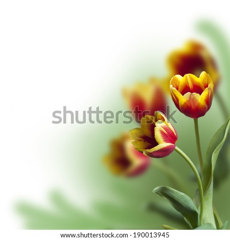 red tulips on a blurred green background