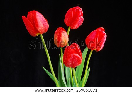 Red tulips on black - stock photo