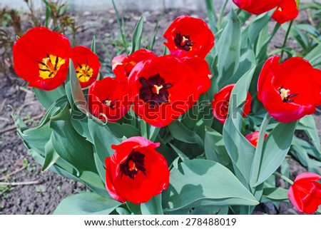 Red tulips on flowerbed. The quality of medium format - stock photo
