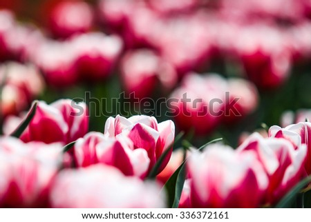 Red tulips, selective focus - stock photo