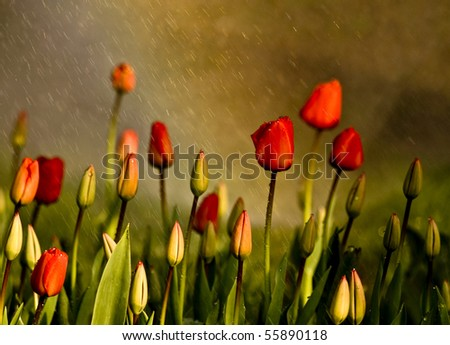 Red Tulips Under Spring Rain Red  tulips under a sprinkler that made a rainbow and gave a rain effect.  - stock photo