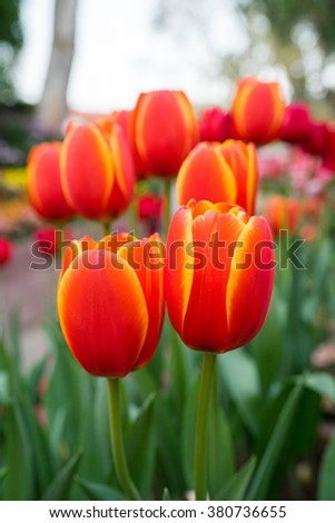 Red tulips with beautiful bouquet background. Tulip. Beautiful bouquet of tulips. colorful tulips. tulips in spring,colourful tulip with blurred background - stock photo