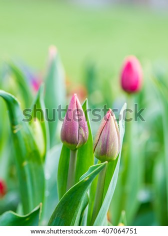 Red tulips with beautiful bouquet background. Tulip. Beautiful bouquet of tulips. colorful tulips. tulips in spring,colourful tulip - stock photo