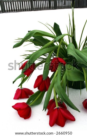 Red tulips with greenery wilted in the white snow