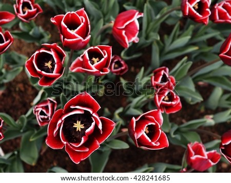 red tulips with white edge on the petals in a green garden 8 - stock photo