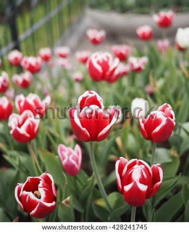 red tulips with white edge on the petals in a green garden   - stock photo