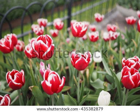 red tulips with white edges on the petals