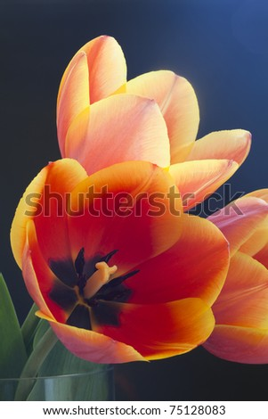 red tulips with yellow edges on dark background - stock photo