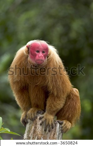 Red Uakari monkey, a very endangered species, in Amazon rainforest - stock photo
