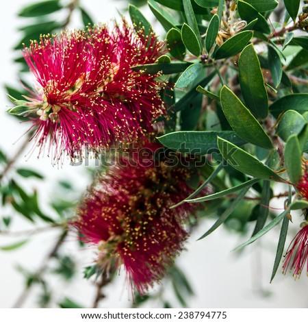 red umbrella acacia flowers - stock photo