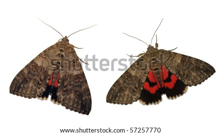 Red underwing moth showing his hindwings to scare the enemy - stock photo