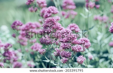 Red Valerian (Centranthus ruber) - stock photo