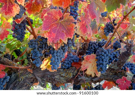 Red varietal wine grapes on vine, ripe for harvest. - stock photo