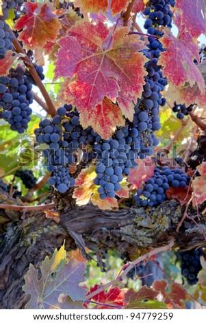 Red varietal wine grapes on vine, ripe for harvest. - stock photo