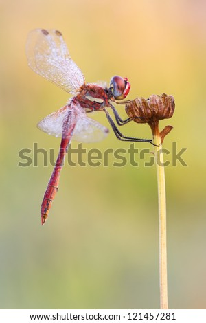 Red-veined Darter close-up (Sympetrum fonscolombii) - stock photo