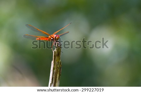 Red veined Darter Dragonfly with green background - stock photo