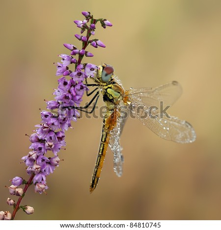 Red veined darter (Sympetrum fonscolombii) with pearls of dew - stock photo