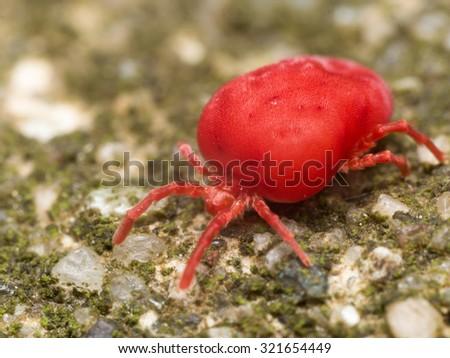 Red velvet mite on green surface - stock photo