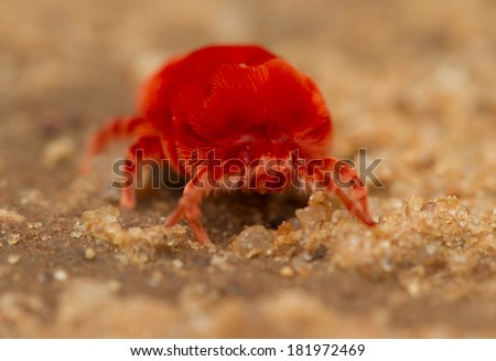 red velvet mite (trombidium holosericeum) - stock photo