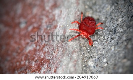 Red velvet mite walking on a brick wall - stock photo