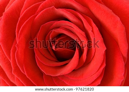 Red velvet rose closeup - stock photo