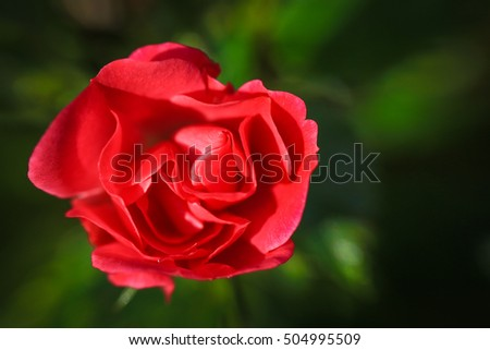Red velvety rose with green bokeh leaves or blurred background