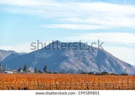Red vineyard in fall with a hill in the background near Santiago, Chile - stock photo