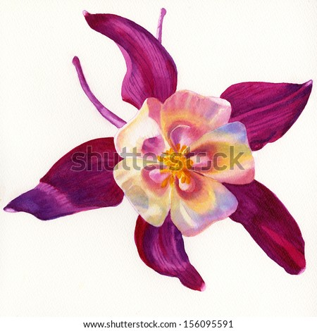 Red Violet Columbine Flower.  Watercolor illustration, painting, of a red violet columbine with translucent center on white in a square format.