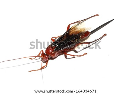 Red wasp on a white background - stock photo
