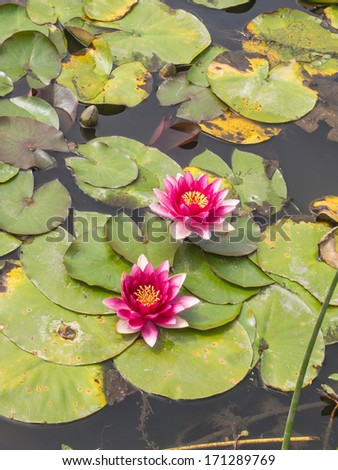 Red water lilly floating in a small pond in the park. - stock photo
