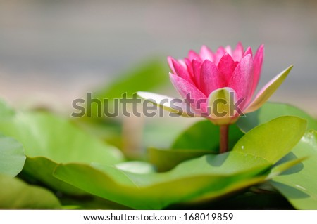 Red Water Lily - stock photo