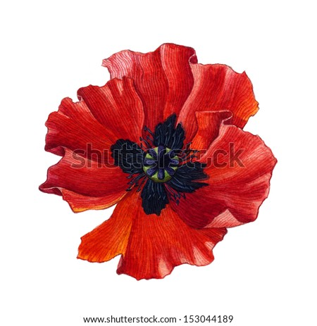 Red Watercolor Poppy over white - stock photo