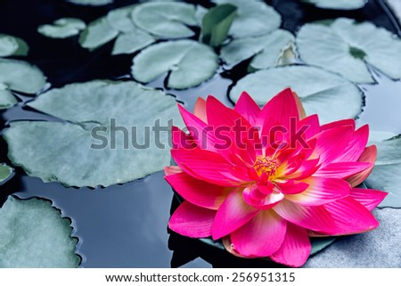 Red waterlily or lotus blossom in pond  - stock photo