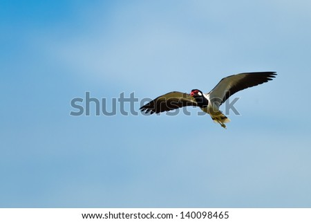Red-wattled Lapwing bird ( Vanellus indicus ) flying in the sky - stock photo