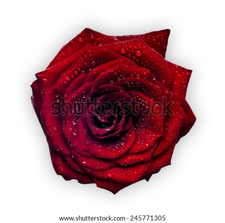 Red wet rose isolated on white background. - stock photo