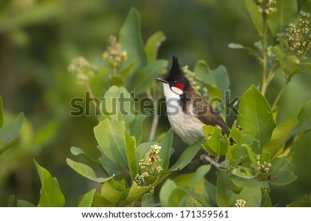 Red-whiskered bulbul bird in Nepal specie Pycnonotus jocosus